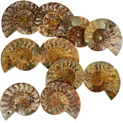 1AMO Ammonite Bulk Dutch Auction