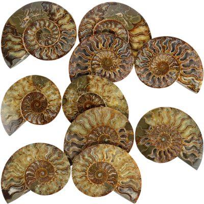 2AMO Ammonite Bulk Dutch Auction